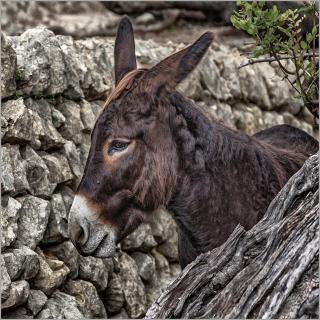 Esel auf Mallorca