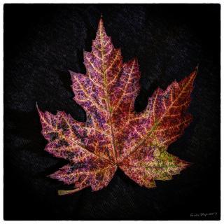 Herbstblatt Ahorn 2013