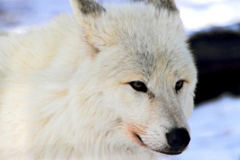 Wolf im weißen Winterfell