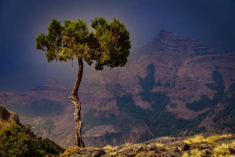 Simien Baum