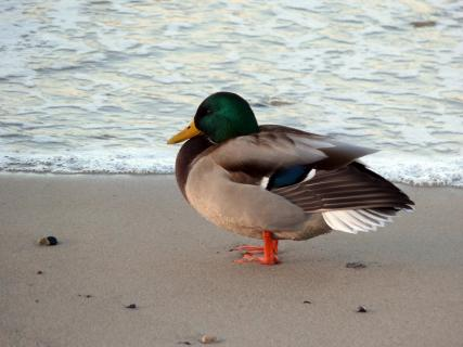 Close-Up Of Mallard Duck On Sea Shore