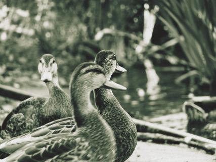 Close-Up Of Ducks At Lakeshore