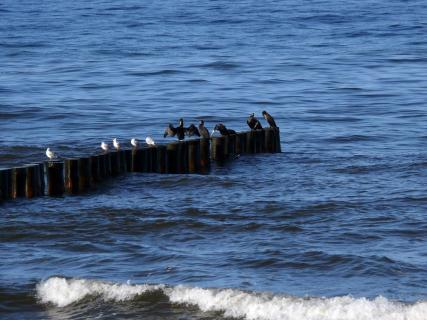 Seagulls And Cormorants Perching On Wooden Post In Sea