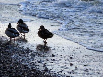 High Angle View Of Ducks Perching On Sea Shore