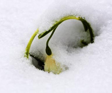 Märzenbecher nach erneutem Wintereinbruch