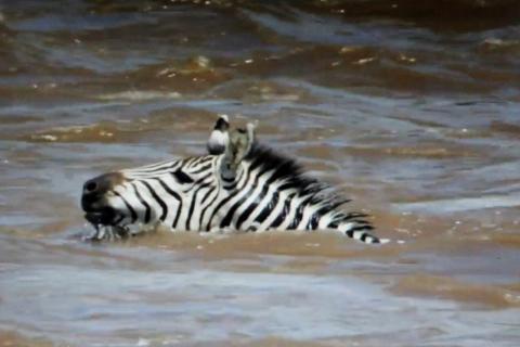 Zebra im Nil