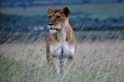 Löwin in der Savanne ..