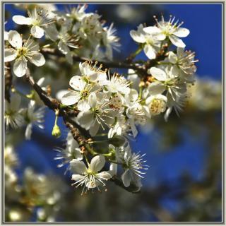Blüten am Pflaumenbaum