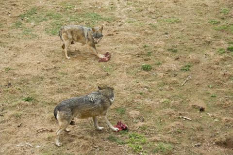 Wölfe beim fressen
