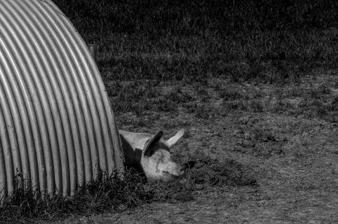 Siesta bei den Landschweinen