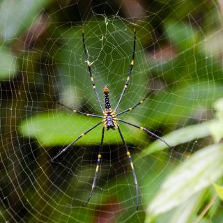 Riesenradnetzspinne - Sri Lanka