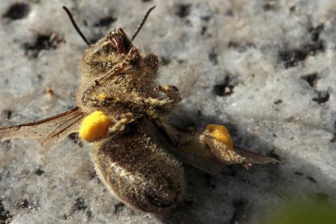 Fleißige Biene macht ein Päuschen