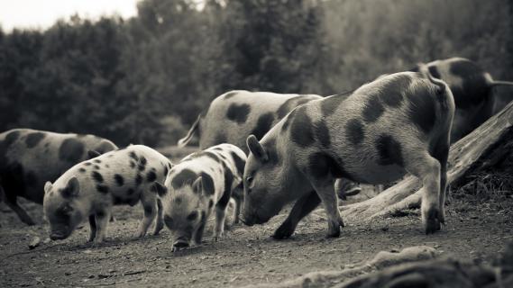 Die glücklichen Schweine