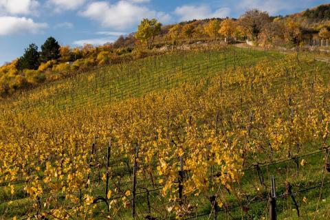 Herbst im Weingarten 06