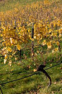 Herbst im Weingarten 05