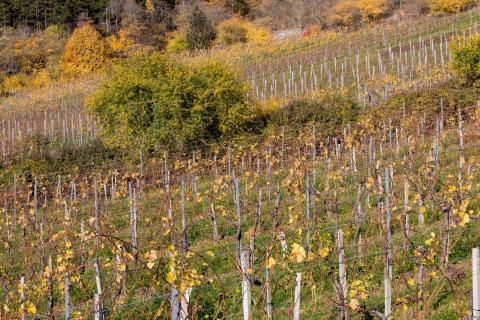 Herbst im Weingarten 04
