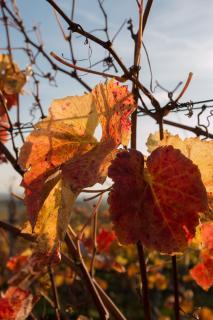 Herbst im Weingarten 03