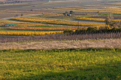 Herbst im Weingarten 01