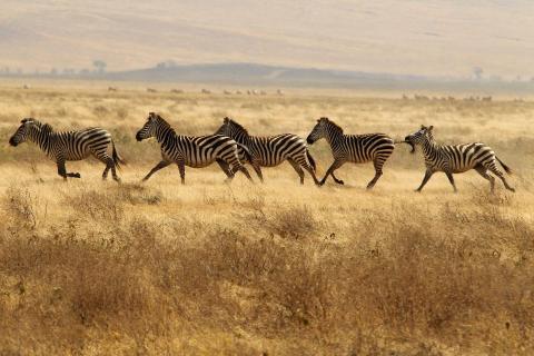 Zebras auf der Flucht