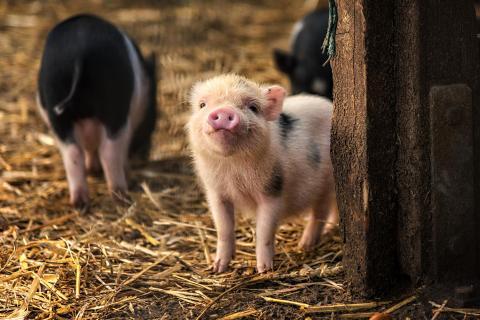 Hängebauchschweinchen