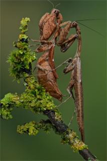 Epaphrodita musarium