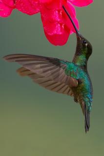 Violettkron Brilliantkolibri