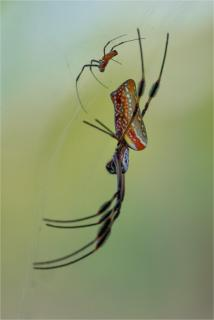 Golden Orb Spider Pair