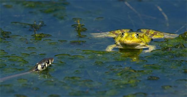 Ringelnatter und Frosch