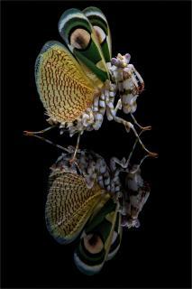 Mantis mit Spiegelung