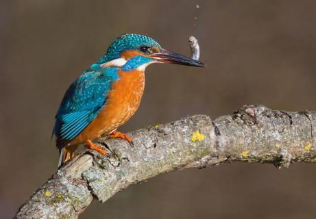 Eisvogel mit Fisch