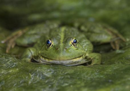 Der Blick des Frosches