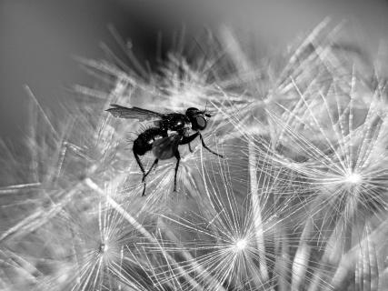 Fliege auf Pusteblume