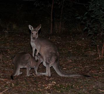 Känguru mit säugendem Baby