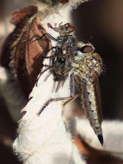 Raubfliege frisst Fliege