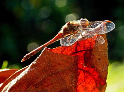 Libelle auf Herbstblatt