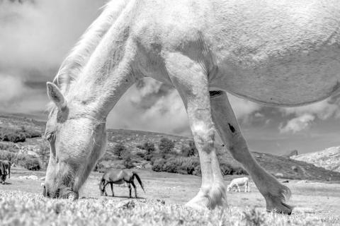 Weidende Pferde