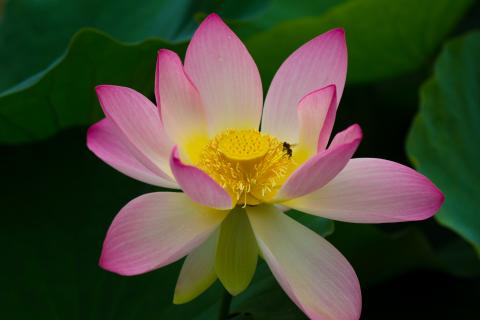 Lotusblüte II