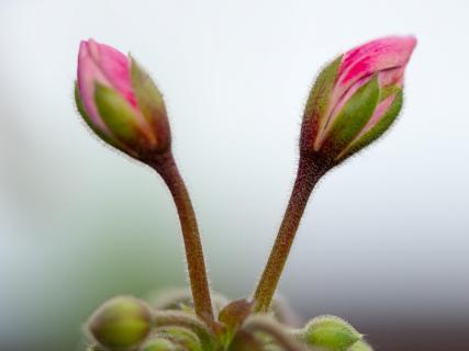 Blumenzwillinge