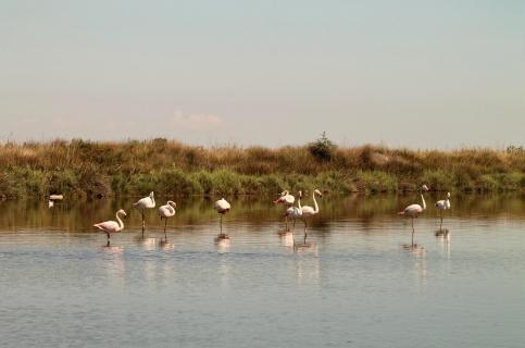 Wilde Flamingos in der Camargue