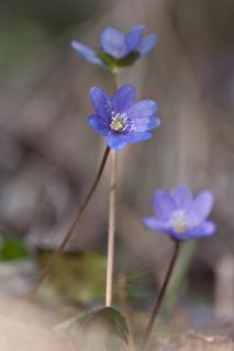 Leberblümchen im Mischwald