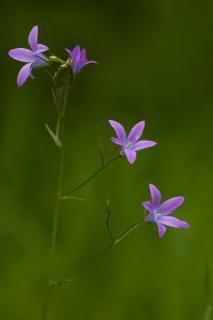 Wiesenglockenblume auf feuchter Waldlichtung