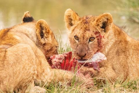 Dinner for Lion-Babys