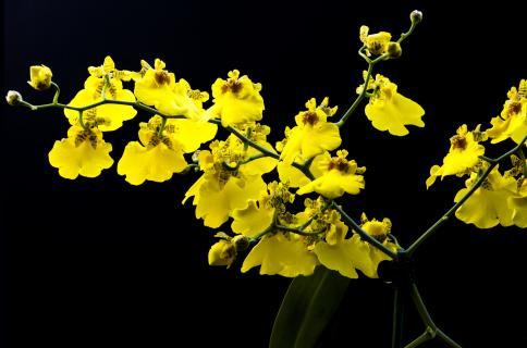 Gelbe Orchidee 22
