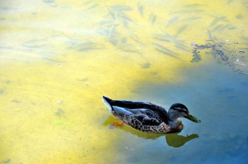 Ente und Fische