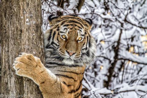 tiger at the tree