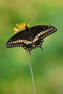 Schwarzer Schwalbenschwanz #7