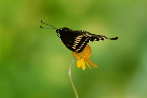 Schwarzer Schwalbenschwanz #8