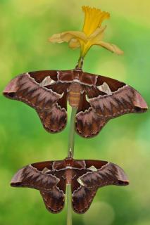 Rothschildia aurota auroamazonensis Pärchen