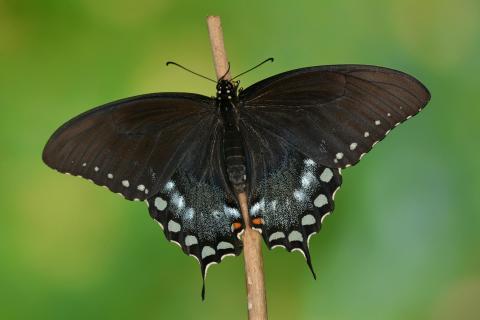 Papilio troilus Weibchen