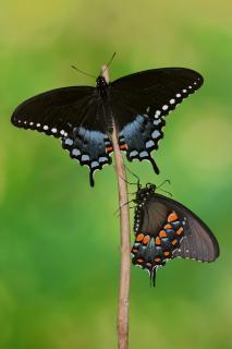 Papilio troilus Pärchen #3